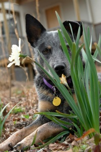 Zeke takes time to stop and smell the daffodils